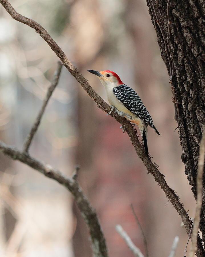 Red-bellied Woodpecker by John Moyer