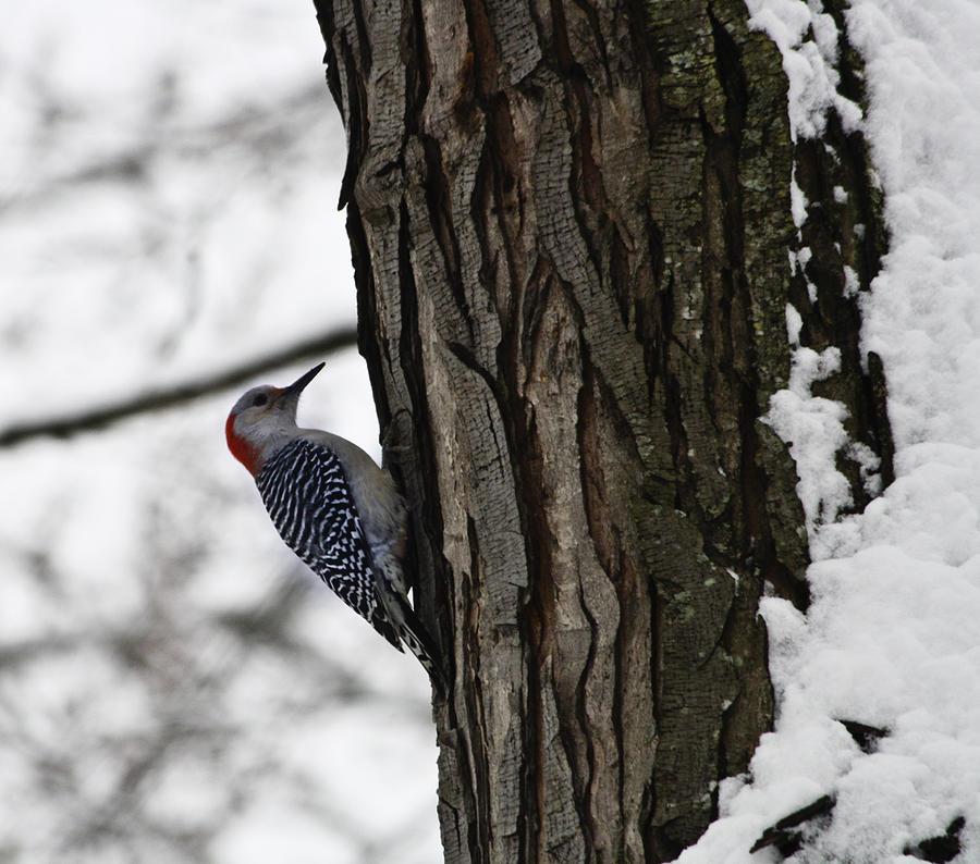 Woodpecker Photograph - Red Bellied Woodpecker No 1 by Teresa Mucha