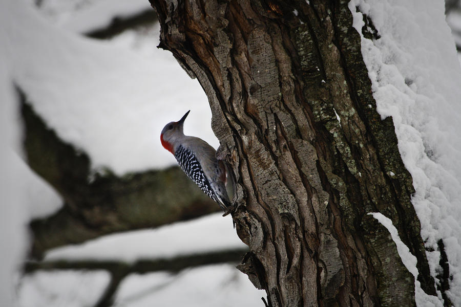 Woodpecker Photograph - Red Bellied Woodpecker No 2 by Teresa Mucha