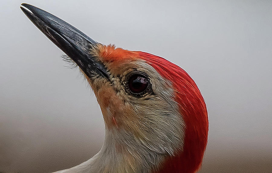 Red-Bellied Woodpecker by Norman Peay