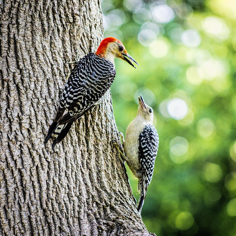 Red Bellied Woodpecker Photograph - Red-bellied Woodpeckers by David Stone