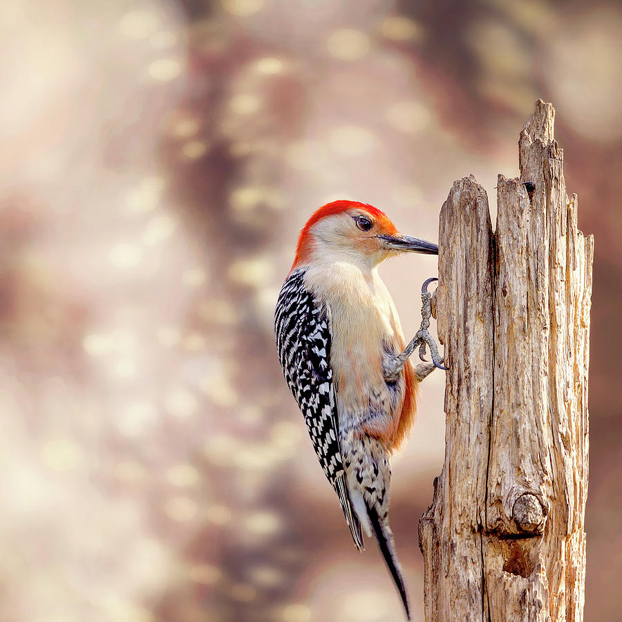 Red Belly Soft Bokeh by Bill Tiepelman