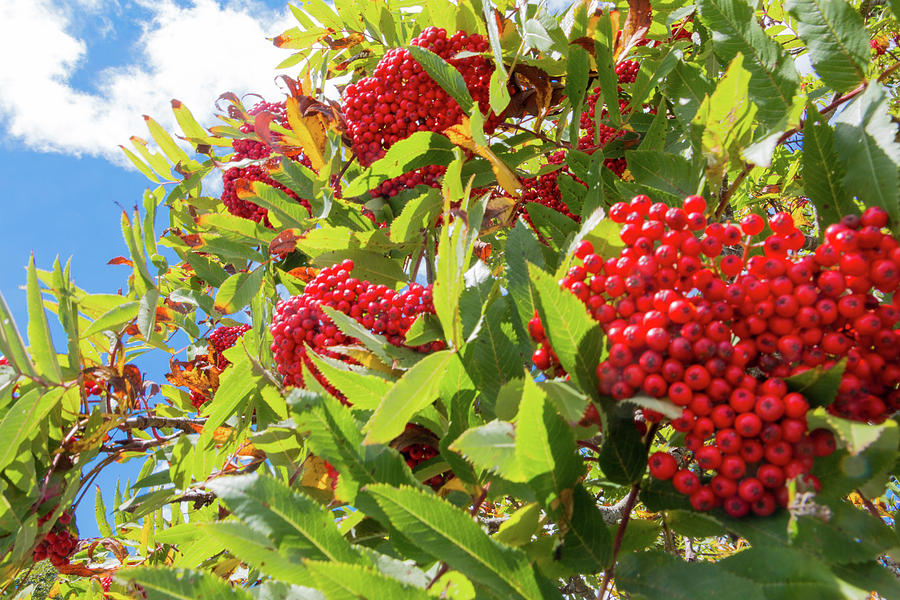 Red Berries, Blue Skies by D K Wall