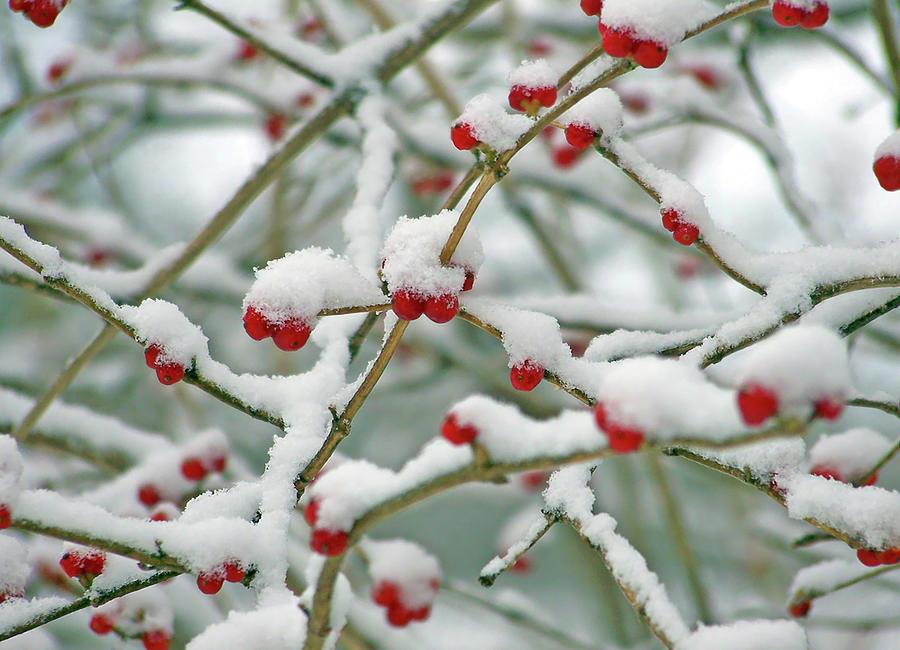 Red Berries in Snow by Ellen Henneke