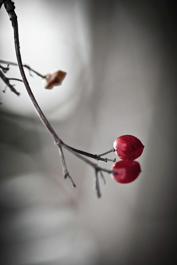 Plant Photograph - Red Berries by Mandy Tabatt