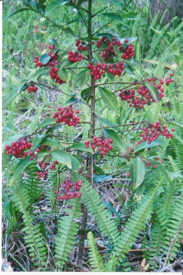 Photograph Photograph - Red Berries by Tara Kearce
