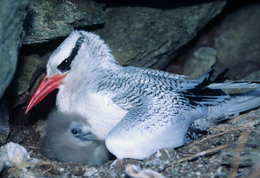 Adult Photograph - Red-billed Tropicbirds Cuddling  by Don Kreuter