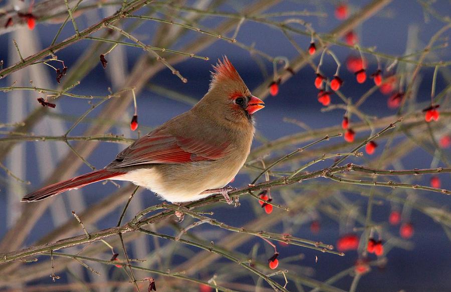 Red Bird Red Fruit Photograph
