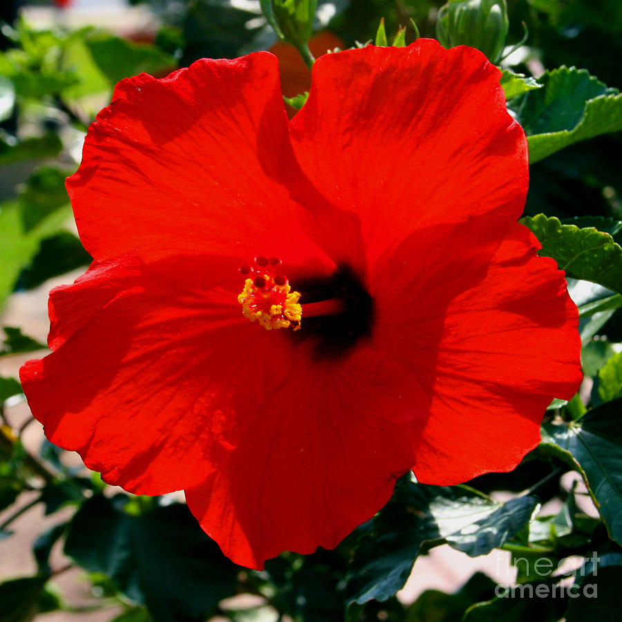 Red Photograph - Red Bloomers by Paul Anderson