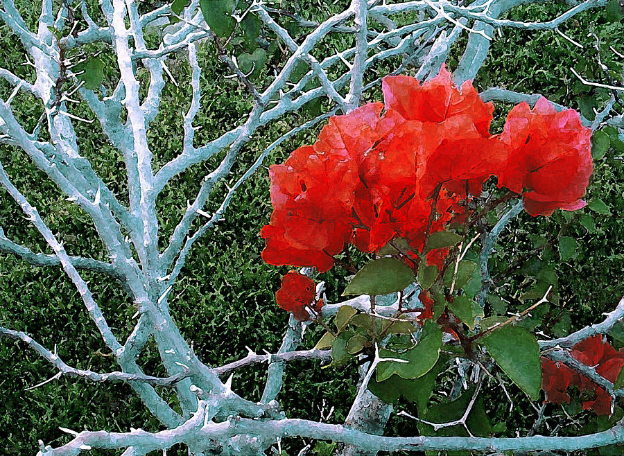 James Temple Photograph - Red Bougainvillea Thorns by James Temple