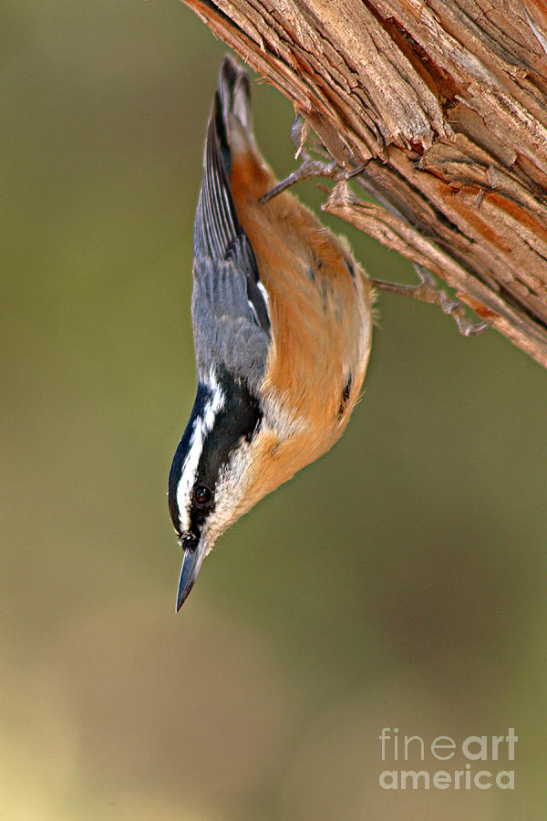 Nuthatch Photograph - Red-breasted Nuthatch Upside Down by Max Allen