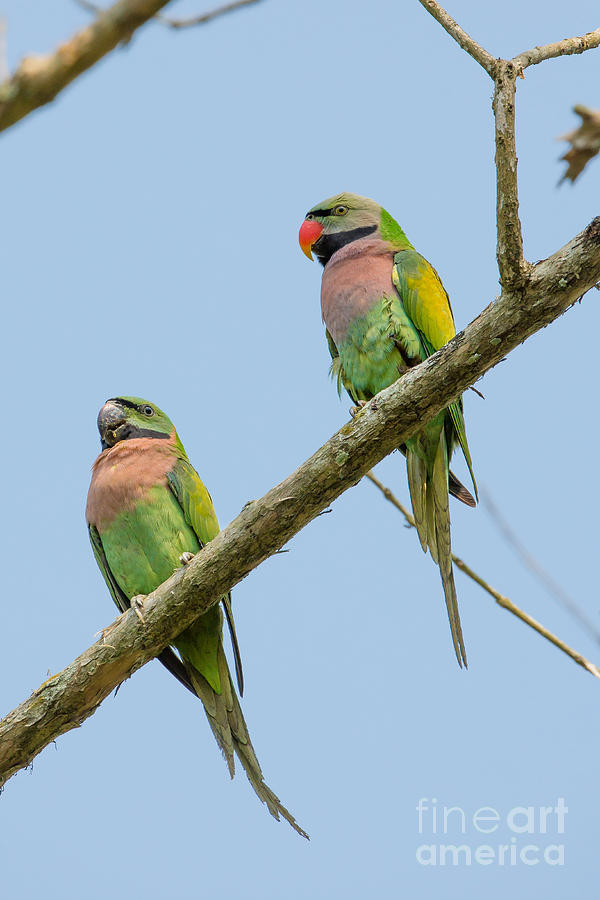 Red-breasted Parakeets, India