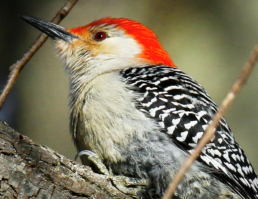 Bird Photograph - Red-breasted Woodpecker 1 by Richard Xuereb