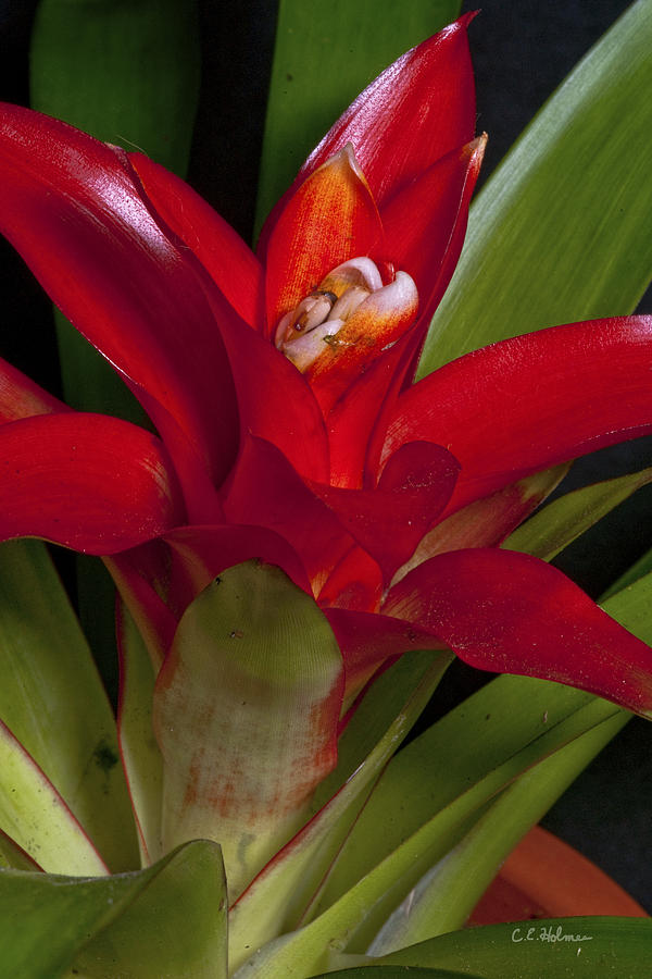 Bromiliad Photograph - Red Bromiliad by Christopher Holmes