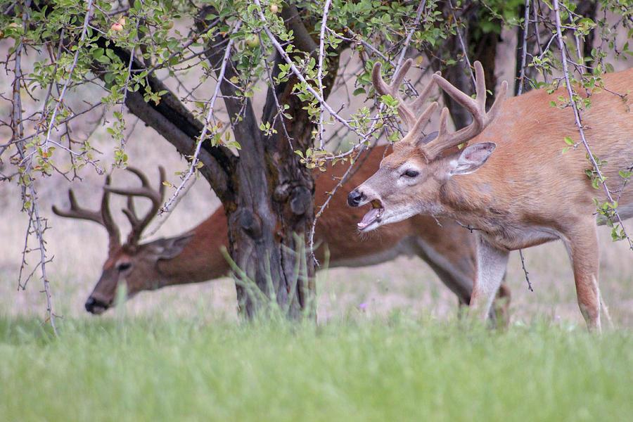 Red Deer Photograph - Red Bucks 5 by Antonio Romero