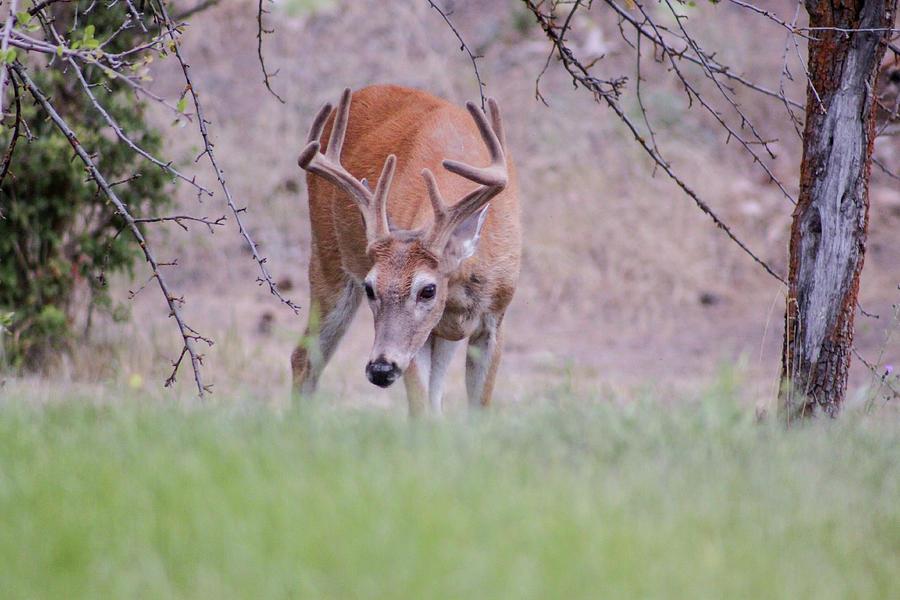 Red Deer Photograph - Red Bucks 6 by Antonio Romero