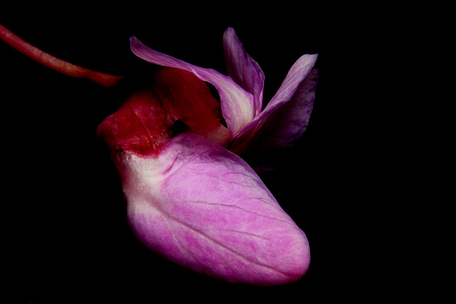 Nature Photograph - Red Bud 2011-17 by Robert Morin