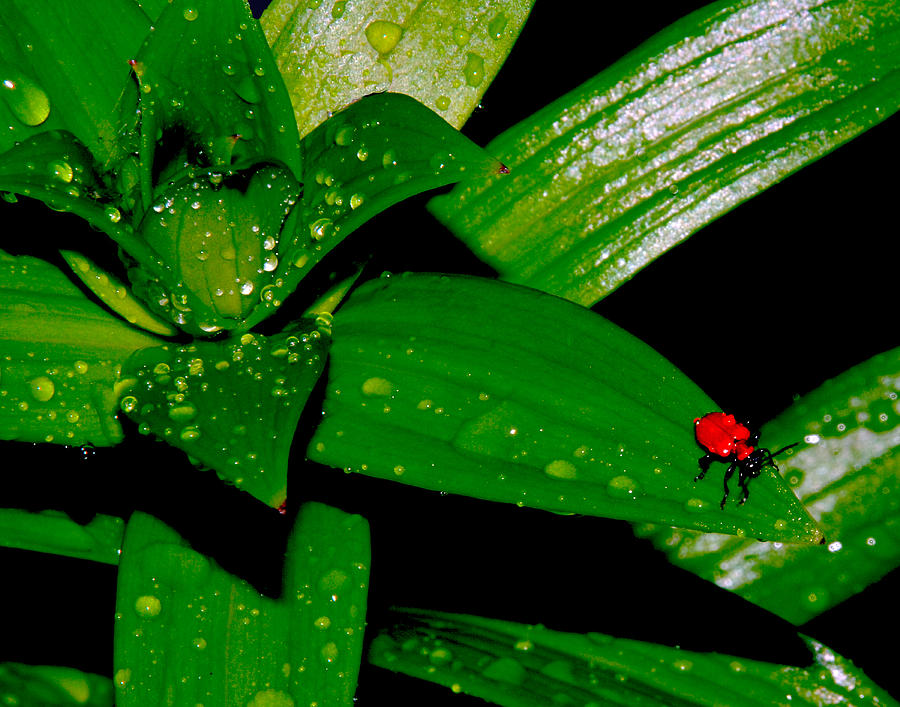 Bug Photograph - Red Bug in the Rain by Mark Wiley