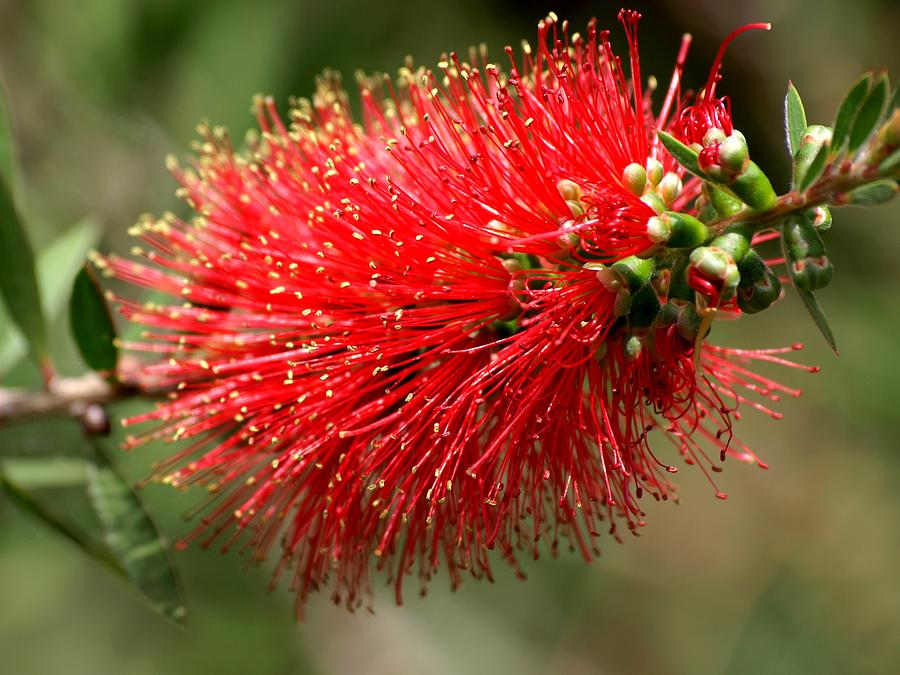 Red Flower Photograph - Red Burst by Valeria Donaldson
