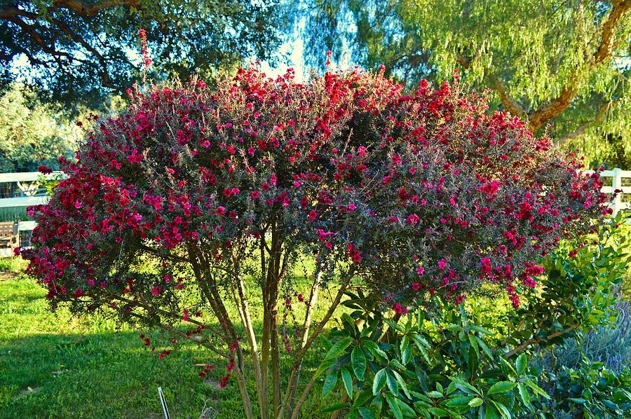 Red Bush Photograph