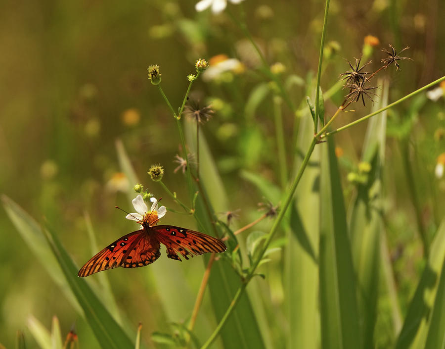 Red Butterfly in daisy field by Vincent Billotto