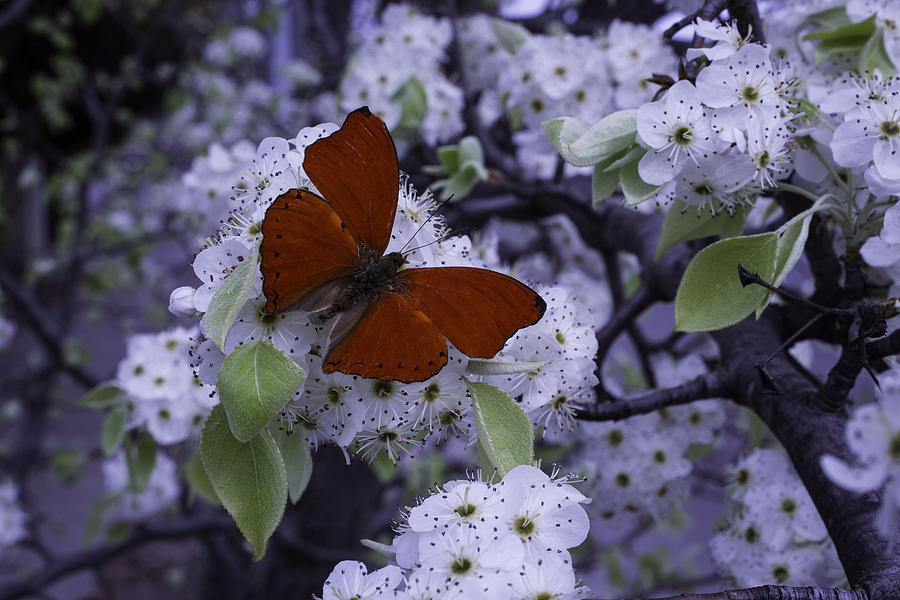 6b7cd0275 Red Butterfly On Cherry Blossoms Photograph by Garry Gay