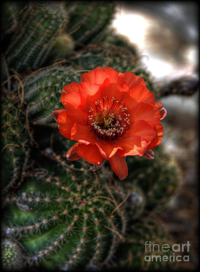 Cactus Flower Photograph - Red Cactus Flower  by Saija  Lehtonen