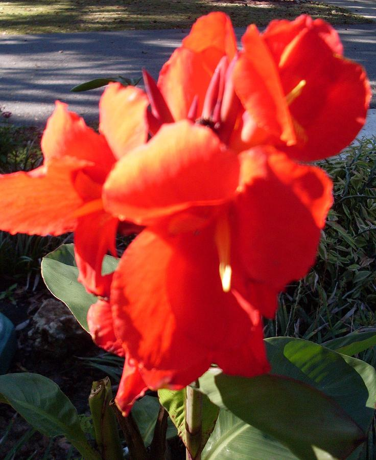 Canna Lily Photograph - Red Canna Lily by Warren Thompson