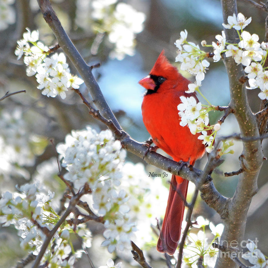 Red Cardinal In White Photograph By Nava Thompson