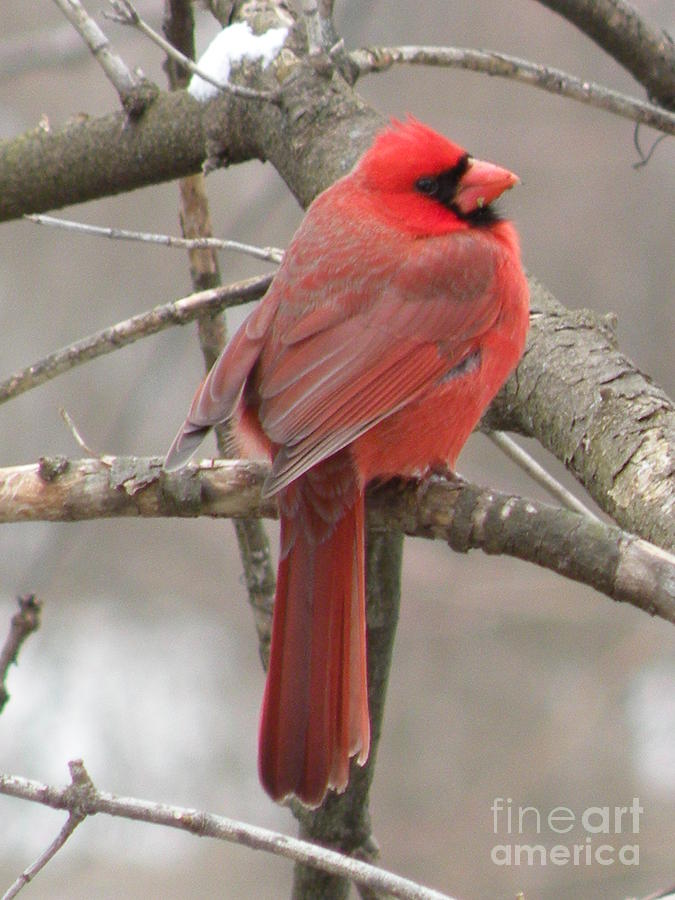 Red Cardinal by Joanne Young