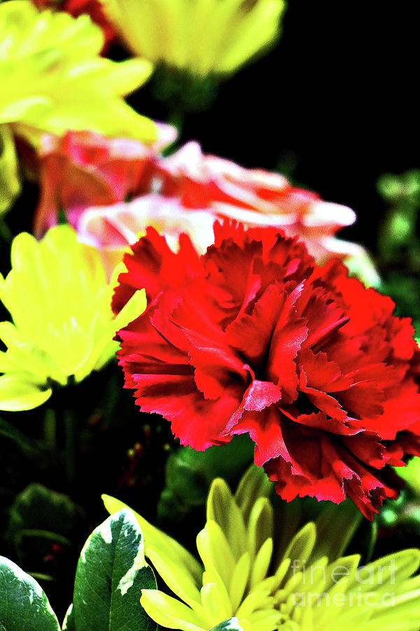Red Carnation Photograph