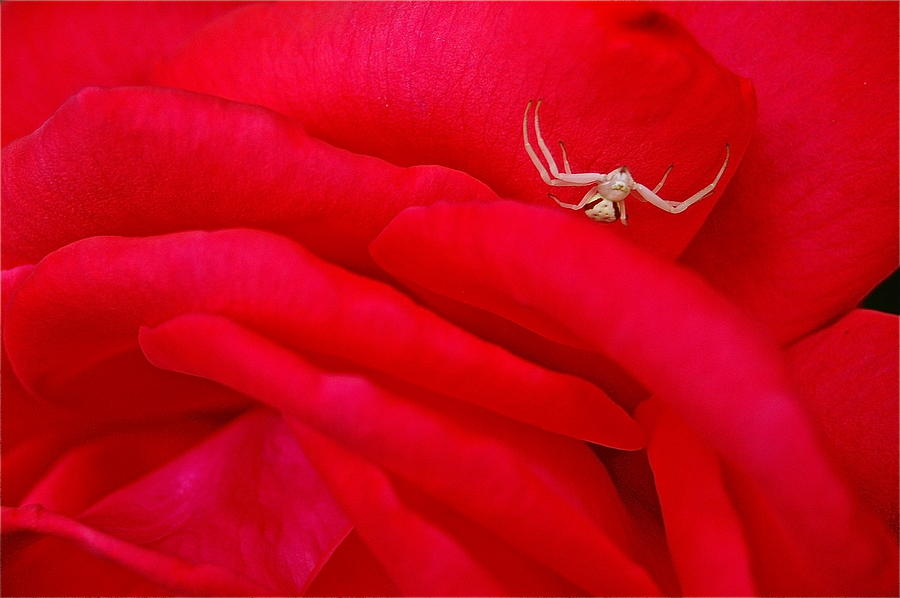 Spider Photograph - Red Carpet by Mark Lemon