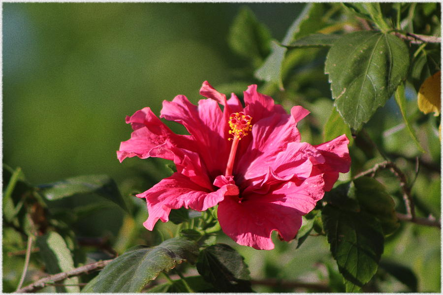 Red Chili Pepper Photograph - Red Chili Pepper Hibiscus Flower by Colleen Cornelius
