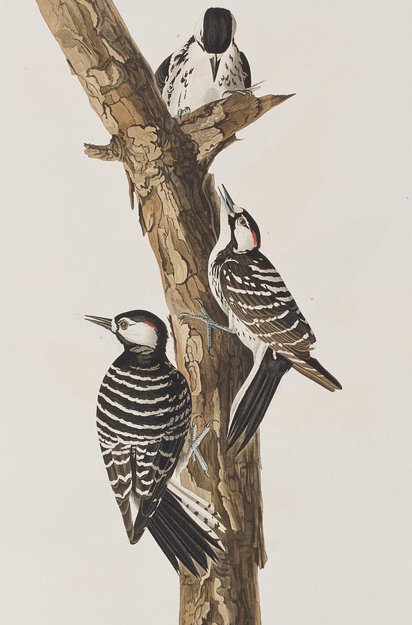 Red-cockaded Woodpecker Painting - Red-Cockaded Woodpecker by John James Audubon