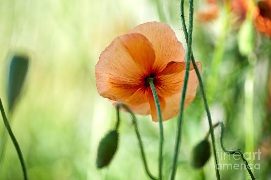 Poppy Photograph - Red Corn Poppy Flowers 02 by Nailia Schwarz