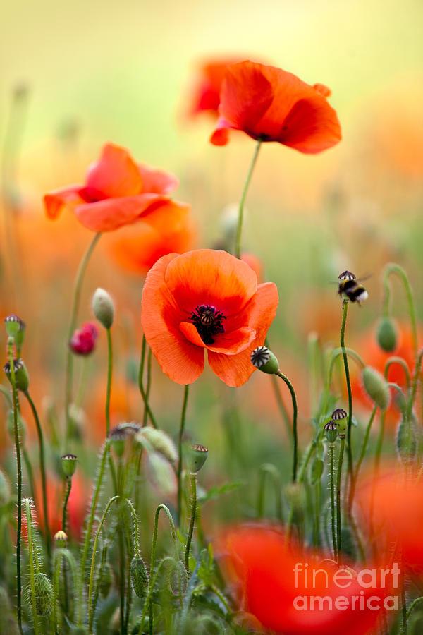 Poppy Photograph - Red Corn Poppy Flowers 06 by Nailia Schwarz