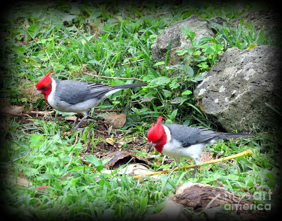 Oahu Photograph - Red Crested Cardinal on Oahu by Joy Patzner