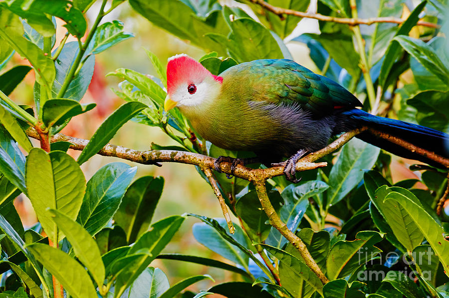 Red Photograph - Red-crested Turaco II by Nick  Biemans