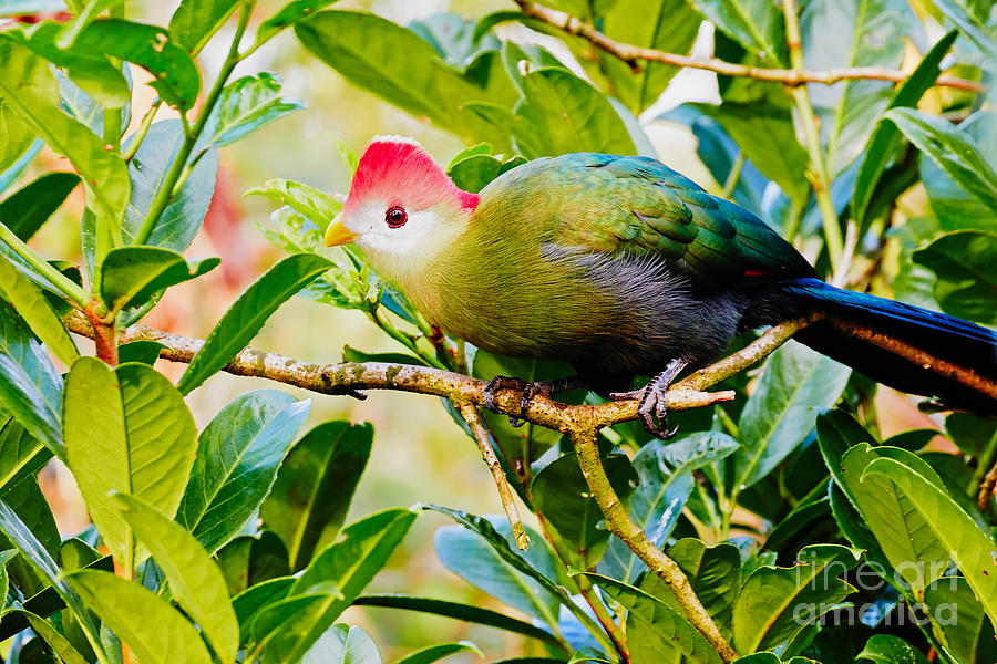 Red-crested Turaco Photograph