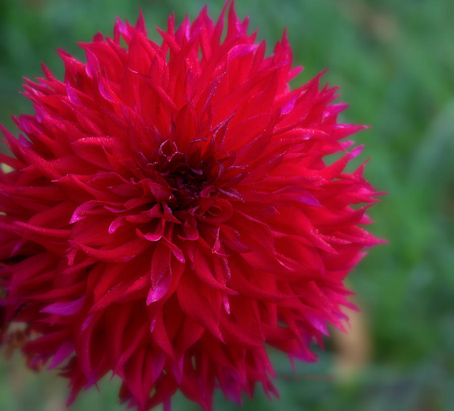 Dahlia Photograph - Red Dahlia by Jeanette C Landstrom