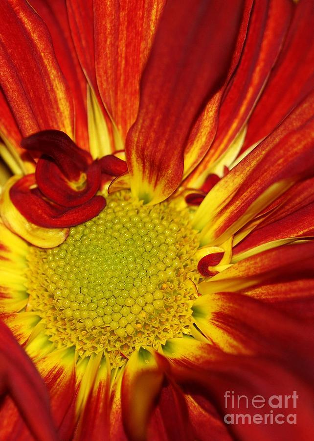 Daisy Photograph - Red Daisy by Sabrina L Ryan