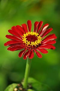 Daisy Photograph - Red Daisy With Yellow Crown by Deborah  DeAmroim