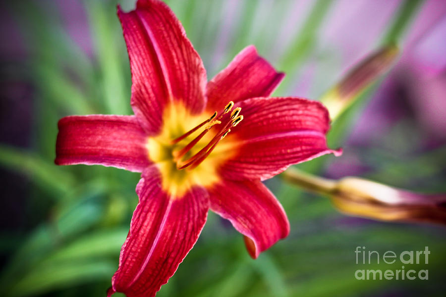 Canon Photograph - Red Daylily by Ryan Kelly