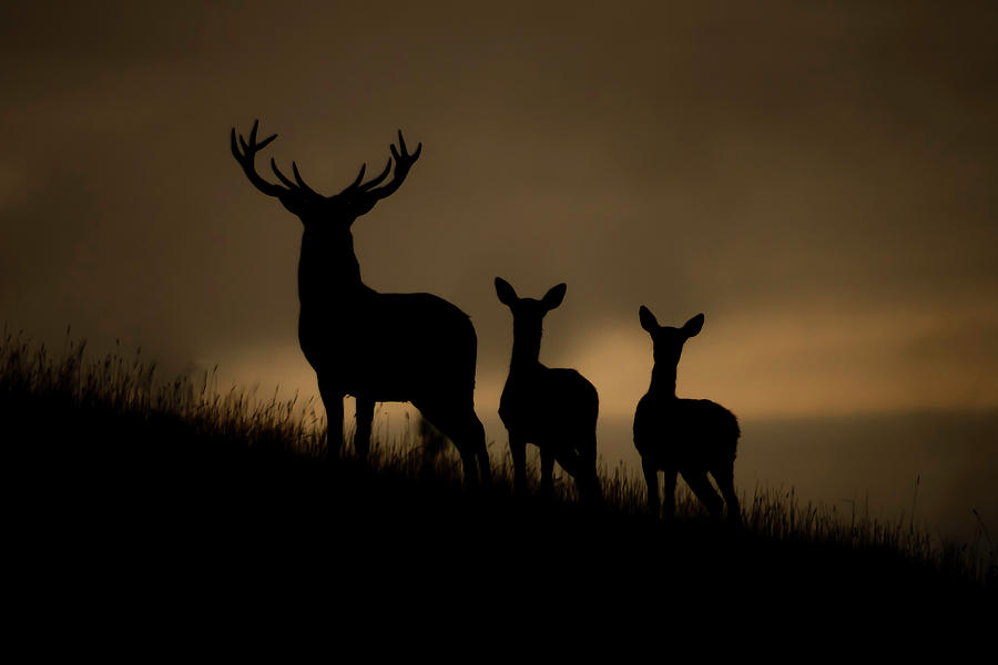 Cervus Elaphus Photograph - Red Deer At Dawn by Andy Beattie Photography