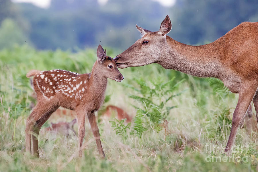 Red deer - Cervus elaphus - female hind mother and young baby calf by Paul Farnfield