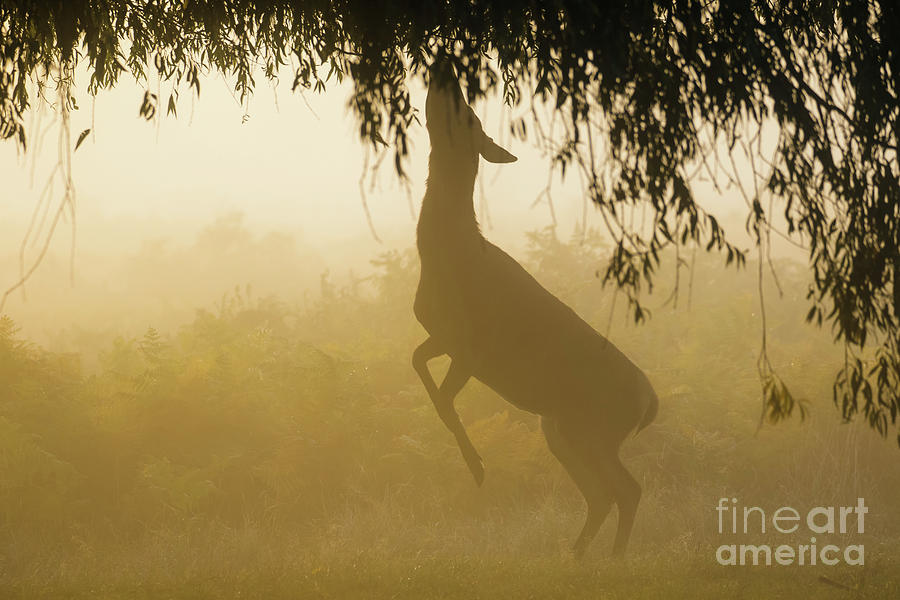 Autumn Photograph - Red Deer - Cervus elaphus - hind browsing or feeding on willow le by Paul Farnfield