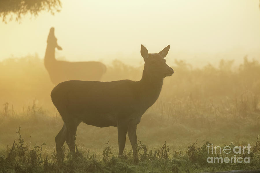 Autumn Photograph - Red Deer - Cervus elaphus - hinds browsing on willow on a misty m by Paul Farnfield