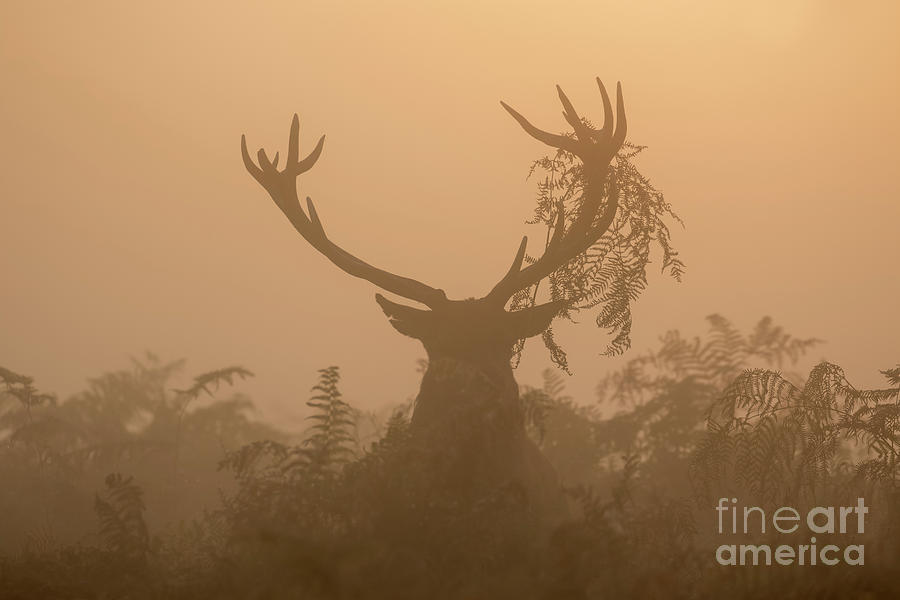Cervus Elaphus Photograph - Red Deer stag Cervus elaphus displaying at sunrise with bracken on antlers by Paul Farnfield