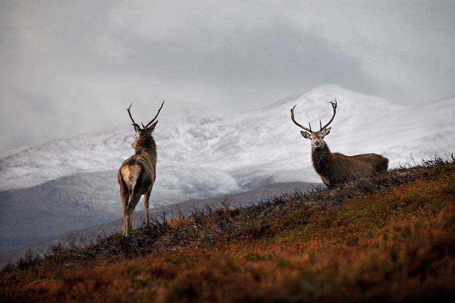 Red Deer Stags by Gavin MacRae
