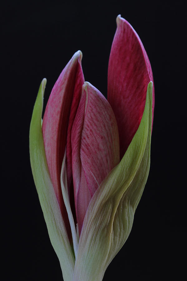 Flower Photograph - Red Divine by Juergen Roth